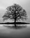 Wall Nut Tree In A Morning Mist