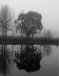 Willow in the Mist