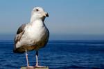Bird in Del Mar