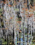 Fall in the Cypress Swamp