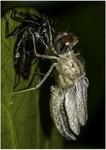 Naiad metamorphosis into a dragonfly