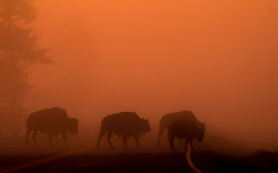 Bisons on the morning walk