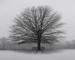 A Black  Walnut Tree