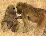 Bush Baboon  Family