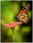 Monarch At Work